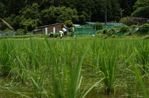 すくすく育つ稲.JPG