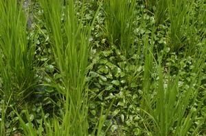 稲の周りに雑草がびっしり!.JPG