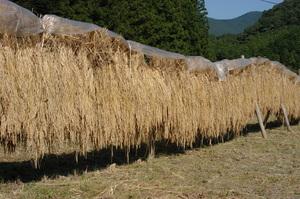 1見事に乾燥した稲.JPG