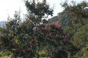 11百日紅の花がきれい.JPG