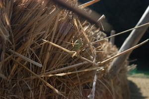 3クモがカメムシを狙っています.JPG