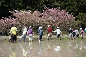 八重桜も最後です.JPG